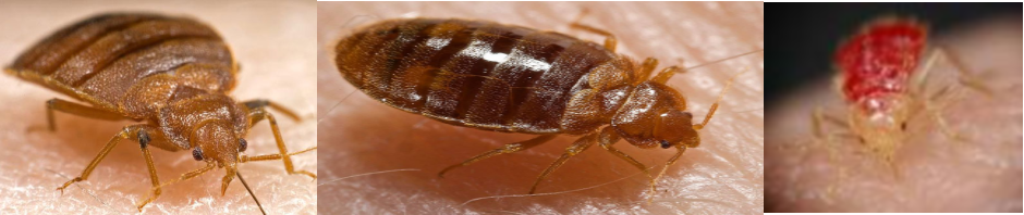 bed bug denver