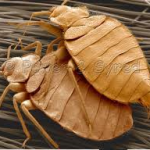 how bed bug infestations grow